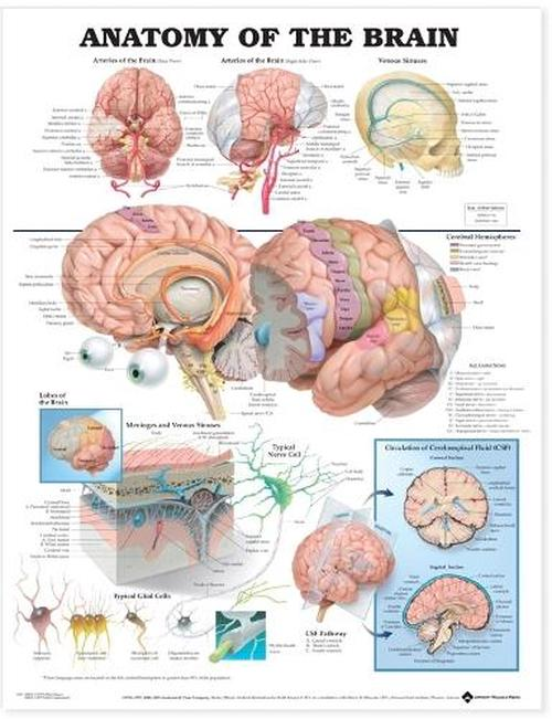 NEW-Anatomy-of-the-Brain-Anatomical-Chart-by-Anatomical-Char-Paperback-Book-Eng